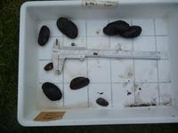 採取した貝の調査